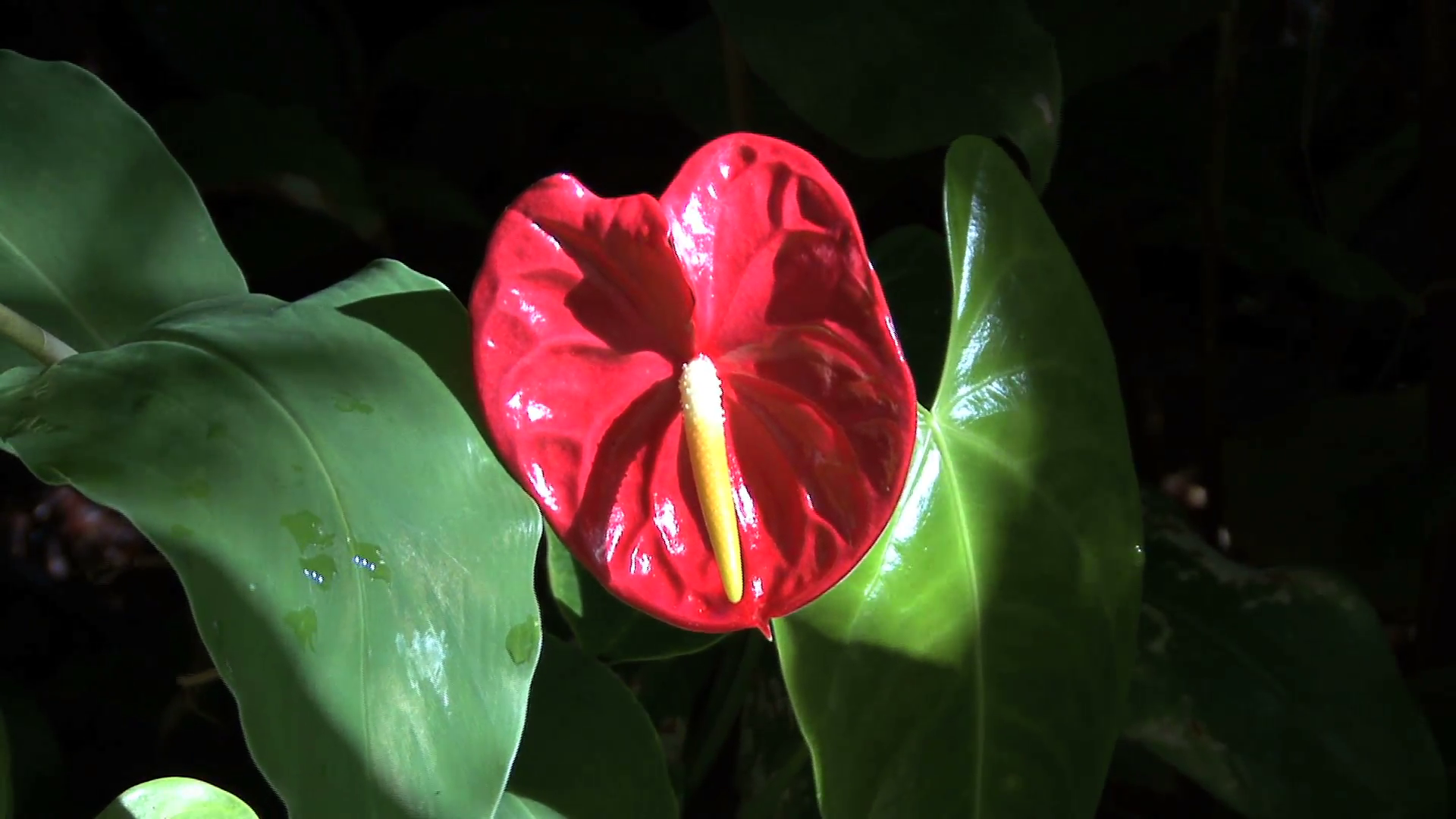 Anthurium Background