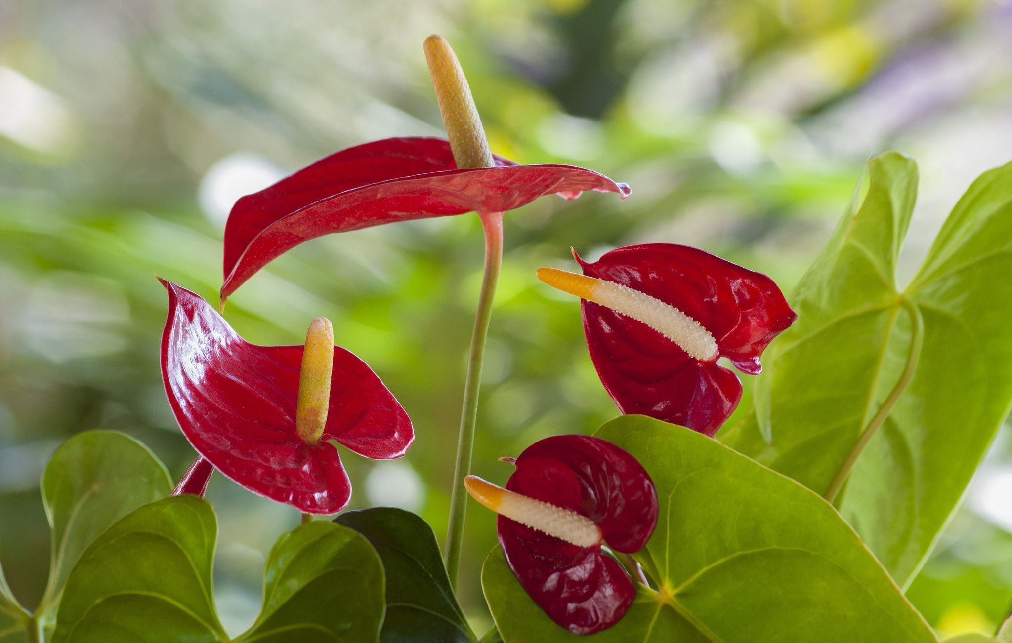 Anthurium Wallpaper