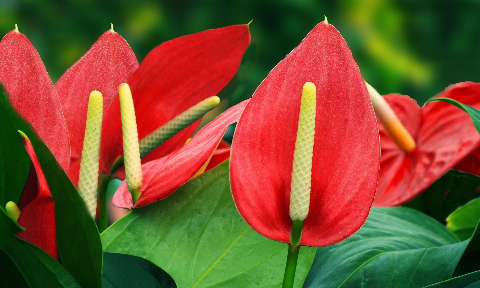 Anthurium Widescreen
