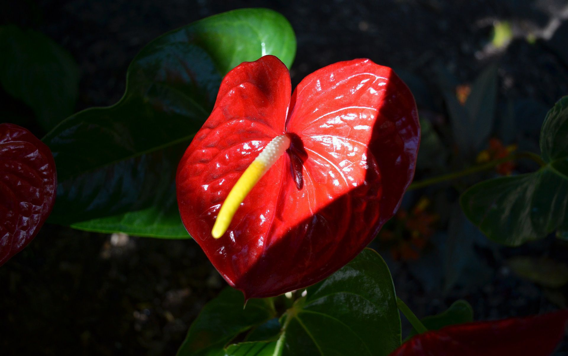 Anthurium Wallpaper Pack