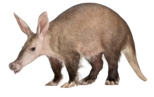 Aardvark 4K Wallpapers