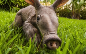 Aardvark Beautiful Wallpaper