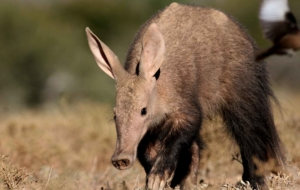 Aardvark Full HD Wallpapers