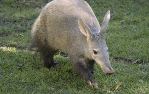 Aardvark Wallpapers HD