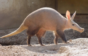 Aardvark Wallpapers HQ