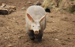 Aardvark Wallpapers For IPhone