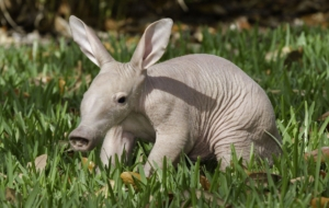 Aardvark Wallpapers Pack