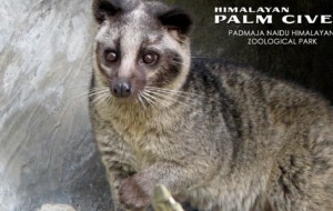 African Palm Civet Gallery