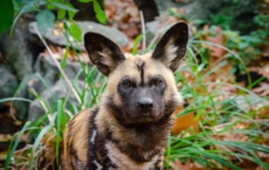 African Wild Dog 4K Wallpapers