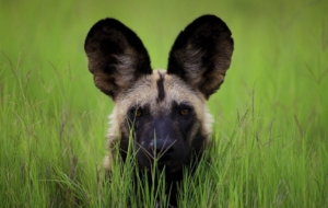 African Wild Dog Beautiful Wallpaper