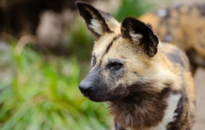 African Wild Dog Full HD Wallpapers