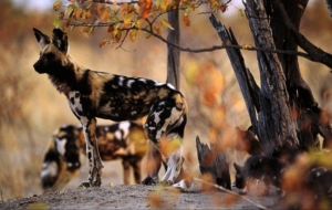 African Wild Dog High Resolution
