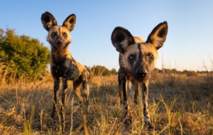 African Wild Dog In HQ