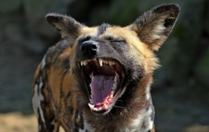 African Wild Dog Photos