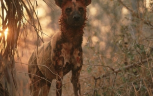 African Wild Dog Wallpapers For Android