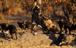 African Wild Dog Wallpapers For IPhone