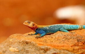 Agamas Beautiful Wallpaper