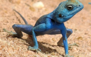 Agamas Images