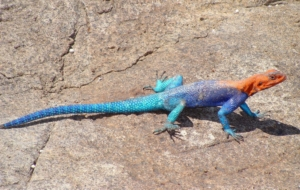 Agamas In HQ