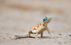 Agamas Photos