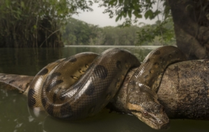 Anaconda Beautiful Wallpaper