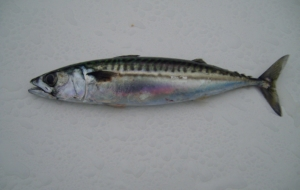 Atlantic Mackerel Computer Wallpaper