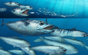 Atlantic Mackerel Images