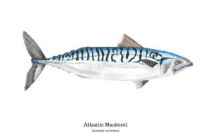 Atlantic Mackerel Photos