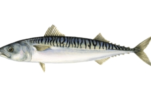 Atlantic Mackerel Pictures