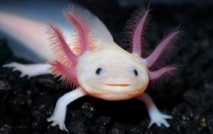 Axolotl Beautiful Wallpaper