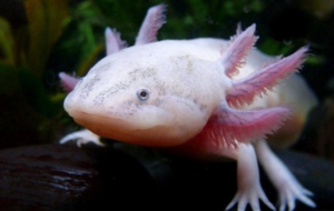 Axolotl High Resolution