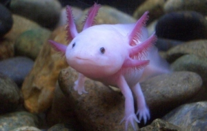 Axolotl Wallpapers HQ