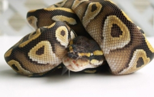 Banana Ball Python 4K Wallpapers