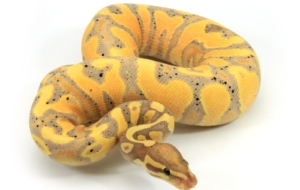 Banana Ball Python Beautiful Wallpaper