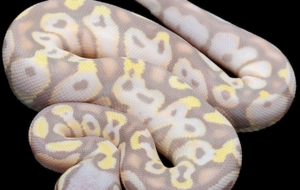 Banana Ball Python Full HD Wallpapers