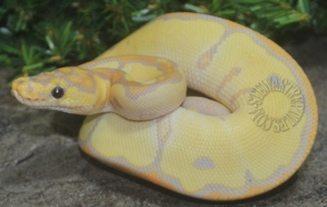 Banana Ball Python High Resolution