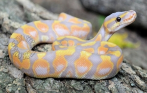Banana Ball Python Images