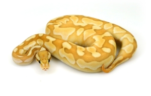 Banana Ball Python Photos