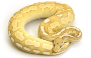 Banana Ball Python Pinterest
