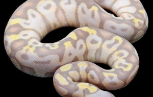 Banana Ball Python Wallpaper
