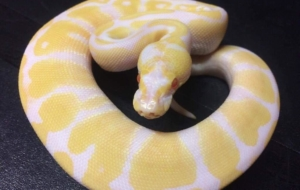 Banana Ball Python Wallpapers For Android