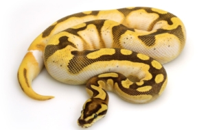 Banana Ball Python Wallpapers For IPhone