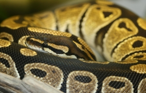 Banana Ball Python Wallpapers Pack