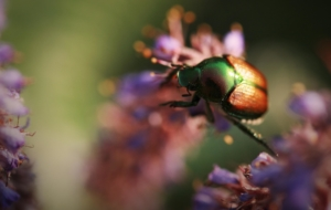 Beetle Insect Beautiful Wallpaper