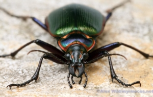 Beetle Insect Full HD Wallpapers