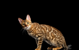Bengal Cats 4K Wallpapers