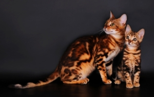 Bengal Cats Beautiful Wallpaper