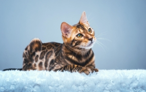 Bengal Cats Gallery