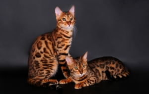 Bengal Cats In HQ
