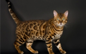 Bengal Cats Photos